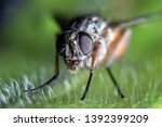 Small Common Fly Sitting On A...