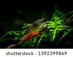 Tiger Shrimp Pets Aquarium Fresh - Fine Art prints