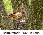 Red Tail Hawk And Chicks In...