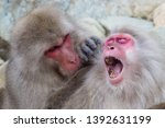 Snow Monkey Couple Clear...