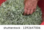 sprig of medicinal wormwood on... | Shutterstock . vector #1392647006