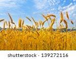 Rye Field. Rye Ears. Summer...