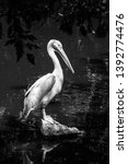 pelican  black and white photo  ... | Shutterstock . vector #1392774476