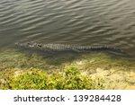 An American Alligator Swims...