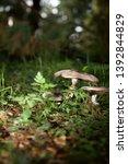 Wild Mushrooms Growing In An...