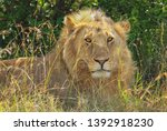 male lion close up front face... | Shutterstock . vector #1392918230