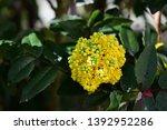 yellow mahogany flowers in... | Shutterstock . vector #1392952286