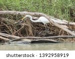 Stunning Great White Egret...