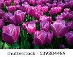 Group Purple Tulips. Spring...