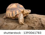 Stock photo the angonoka tortoise astrochelys yniphora is the rarest tortoise species in the world endemic to 1393061783