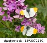 Orange Tip Butterfly  ...