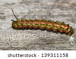 Small photo of Pink-striped Oak Worm Moth Caterpillar (Anisota virginiensis)