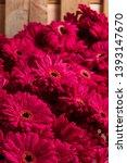 set of pink gerbera daisies... | Shutterstock . vector #1393147670