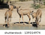 kudu antelope   wildlife from... | Shutterstock . vector #139314974