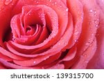 Pink Rose Petals With Water...