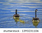 Family Of Geese Swimming On...