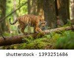Siberian Tiger Walking On A...