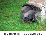Stock photo santa cruz giant tortoise gal pagos giant tortoise complex are the largest living species of 1393286966