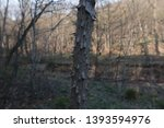 aralia spinosa  devil's walking ... | Shutterstock . vector #1393594976
