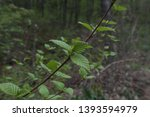 green leaves on a branch close... | Shutterstock . vector #1393594979