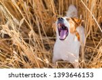 Happy Dog   Jack Russell...