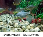 Red Tinfoil Barb Fish Swim In...