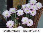 Blooming Cactus 'queen Of The...