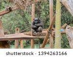 A Sad Old Chimpanzee In A Zoo