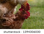 Animal Love Story  Rooster And...
