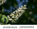 Aesculus Turbinata  Common Name ...