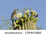 Gila Woodpecker On Saguaro...
