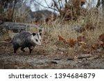 Young Opossum  Didelphimorphia...