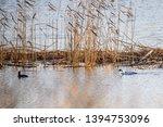 selective focus photo. the smew ...   Shutterstock . vector #1394753096