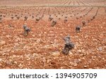 pruned vines growing on stony... | Shutterstock . vector #1394905709