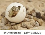 Stock photo africa spurred tortoise are born naturally tortoise hatching from egg cute portrait of baby 1394928329