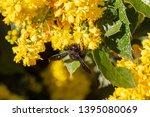 a carpenter bee collects honey...   Shutterstock . vector #1395080069