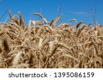 a field with wheat in front of...   Shutterstock . vector #1395086159