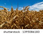 a field with wheat in front of...   Shutterstock . vector #1395086183