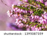 a bee collects honey on a...   Shutterstock . vector #1395087359
