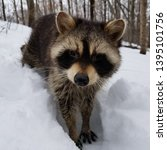 disoriented raccoon with canine ...   Shutterstock . vector #1395101756