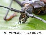 giant fijian longhorn beetle... | Shutterstock . vector #1395182960