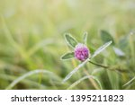 Red clover flower in dewdrops...