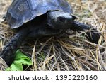 Stock photo the asian forest tortoise manouria emys also known as the asian brown tortoise 1395220160