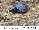 Stock photo the asian forest tortoise manouria emys also known as the asian brown tortoise 1395220163