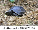 Stock photo the asian forest tortoise manouria emys also known as the asian brown tortoise 1395220166