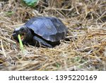 Stock photo the asian forest tortoise manouria emys also known as the asian brown tortoise 1395220169