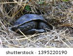 Stock photo the asian forest tortoise manouria emys also known as the asian brown tortoise 1395220190