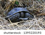 Stock photo the asian forest tortoise manouria emys also known as the asian brown tortoise 1395220193