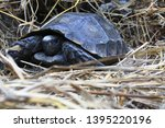Stock photo the asian forest tortoise manouria emys also known as the asian brown tortoise 1395220196