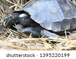 Stock photo the asian forest tortoise manouria emys also known as the asian brown tortoise 1395220199